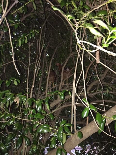 chickens in holly bush